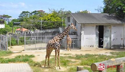 沖繩旅遊親子必去動物園「沖繩兒童王國」的長頸鹿