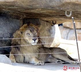 沖繩旅遊親子必去動物園「沖繩兒童王國」的獅子王