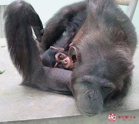 沖繩旅遊親子必去動物園「沖繩兒童王國」的猩猩母親與小寶寶