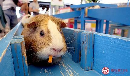 沖繩旅遊親子必去動物園「沖繩兒童王國」的天竺鼠