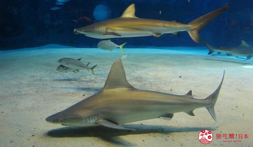 冲绳必去景点推荐「美丽海水族馆」里的鲨鱼博士展厅的大白鲨