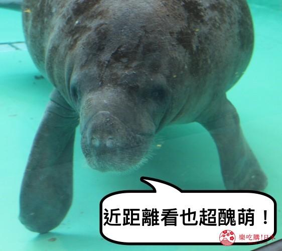 冲绳必去景点推荐「美丽海水族馆」里的海牛泳姿之三