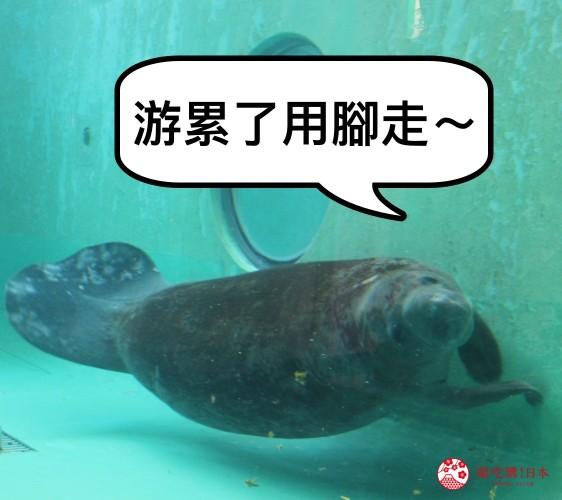 冲绳必去景点推荐「美丽海水族馆」里的海牛泳姿之二