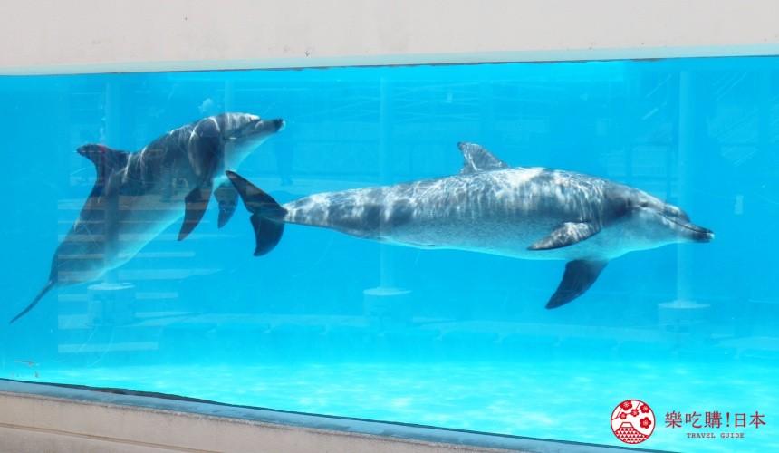冲绳必去景点推荐「美丽海水族馆」里的海豚剧场的海豚