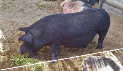 冲绳阿古猪示意图